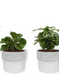 Set van 4 Kamerplanten - Aloe Vera & Peperomia Green Gold & Coffea Arabica & Strelitzia Reginae - ± 25cm hoog - 12cm diameter - in betonnen witte pot