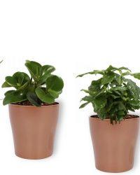 Set van 4 Kamerplanten - Aloe Vera & Peperomia Green Gold & Coffea Arabica & Strelitzia Reginae - ± 25cm hoog - 12cm diameter - in koperen metallic look pot