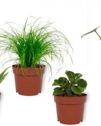 Set van 4 Kamerplanten - Aloe Vera & Peperomia Green Gold & Cyperus Zumula & Monstera Deliciosa - ± 25cm hoog - 12cm diameter