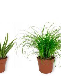 Set van 4 Kamerplanten - Aloe Vera & Sansevieria Superba & Coffea Arabica & Cyperus Zumula - ± 25cm hoog - 12cm diameter