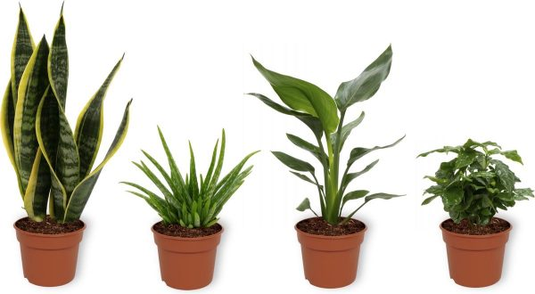 Set van 4 Kamerplanten - Aloe Vera & Sansevieria Superba & Coffea Arabica & Strelitzia Reginae - ± 25cm hoog - 12cm diameter