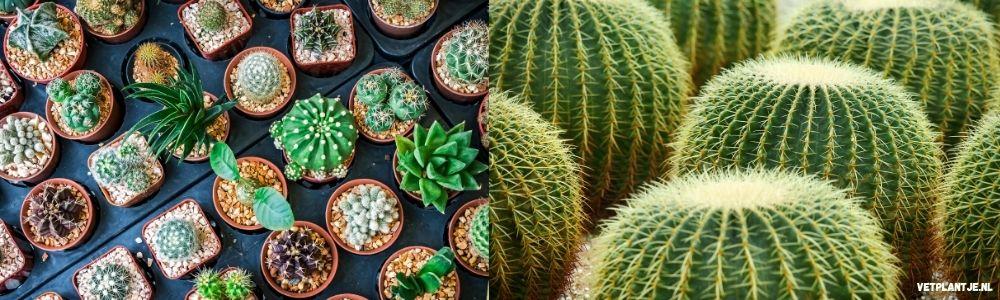 cactus vetplant