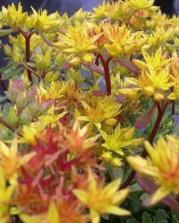 6 x Sedum Floriferum 'Weihenstephaner Gold' - Vetkruid pot 9x9cm