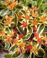 6 x Sedum Kamtschaticum 'Variegatum ' - Vetkruid pot 9x9cm