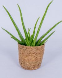 Aloe Vera kamerplant - ± 30cm hoog - In mand