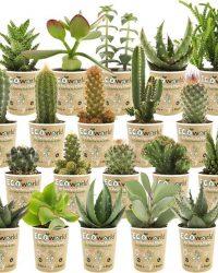 Ecoworld Mini cactussen en Succulenten - Ø 6 cm - Hoogte 8-15 cm