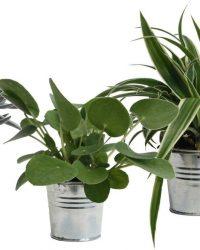 Hellogreen Kamerplant - Trio Eden Collection ® - Pilea Peperomioides, Crassula Tenelli, Chlorophytum Ocean - 15 cm - zomers zink natural