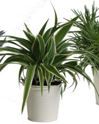 Hellogreen Kamerplant - Trio Eden Collection ® - Senecio Himalaya, Chlorophytum Ocean, Crassula Tenelli - 15 cm - zomers zink creme