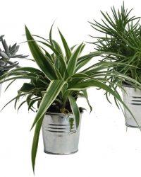 Hellogreen Kamerplant - Trio Eden Collection ® - Senecio Himalaya, Chlorophytum Ocean, Crassula Tenelli - 15 cm - zomers zink naturel