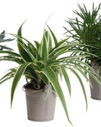 Hellogreen Kamerplant - Trio Eden Collection ®- Senecio Himalaya, Chlorophytum Ocean, Crassula Tenelli - 15 cm - zomers zink taupe