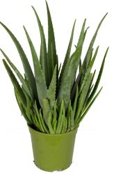 Mama's Planten - Aloë Vera - Cactussen - ↨ 60cm - ⌀ 21cm