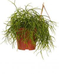Mama's Planten - Rhipsalis Cashero - Vers Van De Kweker - ↨ 20cm - ⌀ 12cm