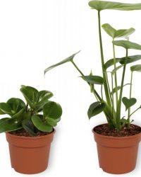 Set van 4 Kamerplanten - Aloe Vera & Coffea Arabica & Monstera Deliciosa & Peperomia Green Gold - ± 25cm hoog - 12cm diameter