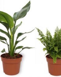 Set van 4 Kamerplanten - Aloe Vera & Coffea Arabica & Nephrolepis Vitale & Strelitzia Reginae - ± 25cm hoog - 12cm diameter