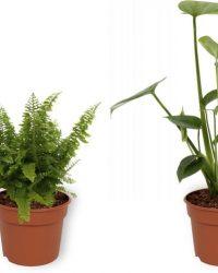 Set van 4 Kamerplanten - Aloe Vera & Nephrolepis Vitale & Coffea Arabica & Monstera Deliciosa - ± 25cm hoog - 12cm diameter