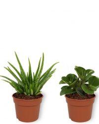 Set van 4 Kamerplanten - Aloe Vera & Peperomia Green Gold & Coffea Arabica & Sansevieria Superba - ± 25cm hoog - 12cm diameter