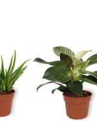 Set van 4 Kamerplanten - Aloe Vera & Philodendron White Wave & Coffea Arabica & Sansevieria Superba - ± 25cm hoog - 12cm diameter
