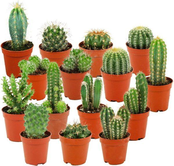 ZynesFlora   Mini Cactussen Mix - 15 Stuks - Ø 5,5 cm - ↕ Hoogte: 5-10 cm - Cactus - Kamerplant - Cactus Cadeau