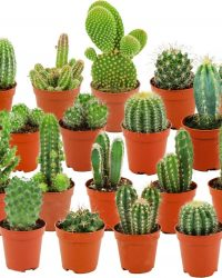 ZynesFlora | Mini Cactussen Mix - 18 Stuks - Ø 5,5 cm - ↕ Hoogte: 5-10 cm - Cactus - Kamerplant - Cactus Cadeau