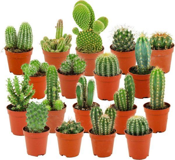 ZynesFlora   Mini Cactussen Mix - 18 Stuks - Ø 5,5 cm - ↕ Hoogte: 5-10 cm - Cactus - Kamerplant - Cactus Cadeau