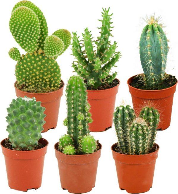 ZynesFlora | Mini Cactussen Mix - 6 Stuks - Ø 5,5 cm - ↕ Hoogte: 5-10 cm - Cactus - Kamerplant - Cactus Cadeau