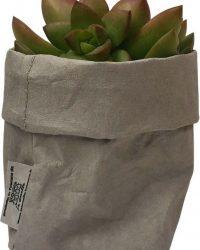 de Zaktus - Sedum Adolphii - succulent - paper bag grijs - maat M