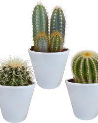 Cactus mix in witte pot | 3 stuks | Ø 9,5 cm | ↕ 13-18 cm
