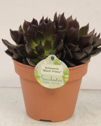Cactus van Botanicly - Echeveria - Hoogte: 20 cm