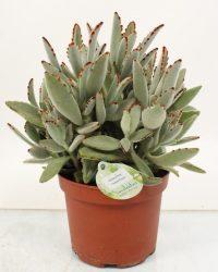 Cactus van Botanicly - Kalanchoe tomentosa - Hoogte: 35 cm