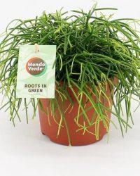 Cactus van Botanicly - Rotskoraal - Hoogte: 20 cm - Rhipsalis Oasis