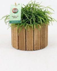 Cactus van Botanicly - Rotskoraal in houten pot als set - Hoogte: 20 cm - Rhipsalis Oasis
