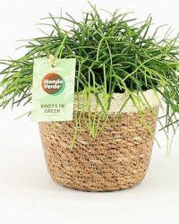 Cactus van Botanicly - Rotskoraal in zeegras pot als set - Hoogte: 20 cm - Rhipsalis Oasis