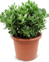 Crassula Ovata (Jadeplant) - ↨ 50cm - ⌀ 30cm