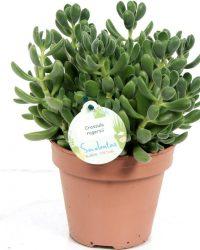 Kamerplant van Botanicly - Jadeplant - Hoogte: 20 cm - Crassula rogersii