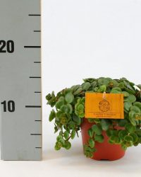 Kamerplant van Botanicly - Vetkruid - Hoogte: 20 cm - Sedum Makinoi