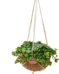 Kamerplant van Botanicly - Vetkruid in kokosvezel hangpot als set - Hoogte: 20 cm - Sedum Makinoi