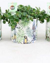 Kamerplanten van Botanicly - 3 × Sedum tetractinum Coral Reef in gevormde keramiek pot als set - Hoogte: 20 cm