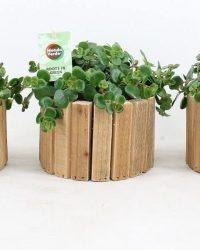 Kamerplanten van Botanicly - 3 × Sedum tetractinum Coral Reef in houten pot als set - Hoogte: 20 cm