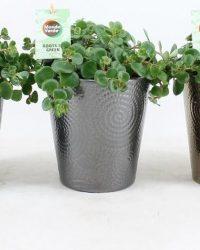 Kamerplanten van Botanicly - 3 × Sedum tetractinum Coral Reef in keramische pot als set - Hoogte: 25 cm