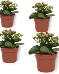 Set van 4 Bloeiende Kamerplanten - Kalanchoë met roze bloemen- ± 10cm hoog - 7cm diameter