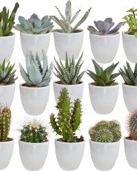 Cactus en vetplanten mix in witte pot | 15 stuks | Ø 6 cm | ↕ 8-13 cm