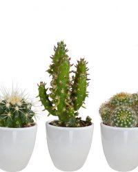 Cactus mix in witte pot | 5 stuks | Ø 6 cm | ↕ 8-13 cm