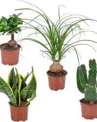 Kamerplanten mix set van 4: Opuntia, Ficus, Sansevieria en Beaucarnea ⌀12 cm - Hoogte ↕20-35 cm