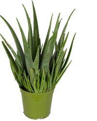 Mama's Planten - Aloë Vera - Cactus - Geeft Sfeer In Huis - ↨ 60cm - ⌀ 21cm