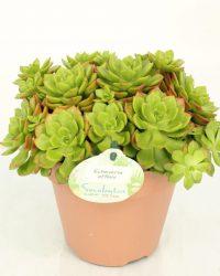 Cactus van Botanicly - Echeveria affinis - Hoogte: 20 cm