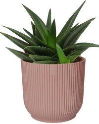 Cactus van Botanicly - Haworthia in roze ELHO plastic pot als set - Hoogte: 20 cm