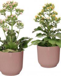 Combinatie Kalanchoë Femini Pink En Orange In ELHO Vibes Fold Sierpot (delicaat Roze) - Vers Van De Kweker - ↨ 50cm - ⌀ 16cm - [Mama's Planten]