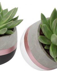 Duo Echeveria Miranda in hang-over pot ↨ 13cm - 2 stuks - planten - binnenplanten - buitenplanten - tuinplanten - potplanten - hangplanten - plantenbak - bomen - plantenspuit