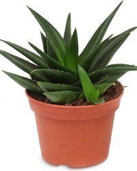 Haworthia West Jogoo - ↨ 20cm - ⌀ 15cm