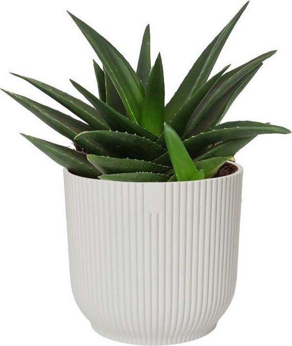 Haworthia West Jogoo in ELHO ® Vibes Fold Rond (zijdewit) - ↨ 20cm - ⌀ 16cm